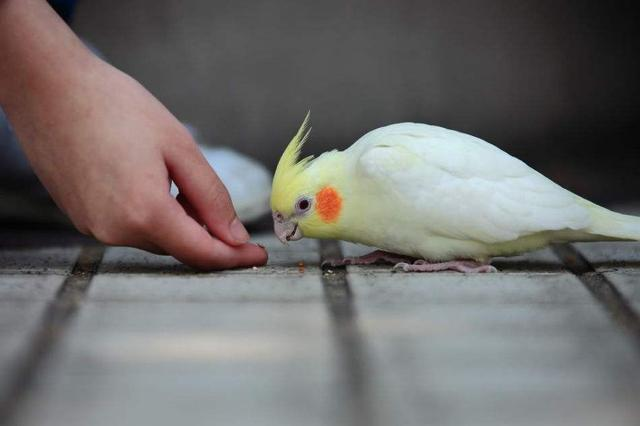 玄鳳鸚鵡怎麼吃?糧食這樣營養搭配。讓你的鸚鵡更健康! - 每日頭條