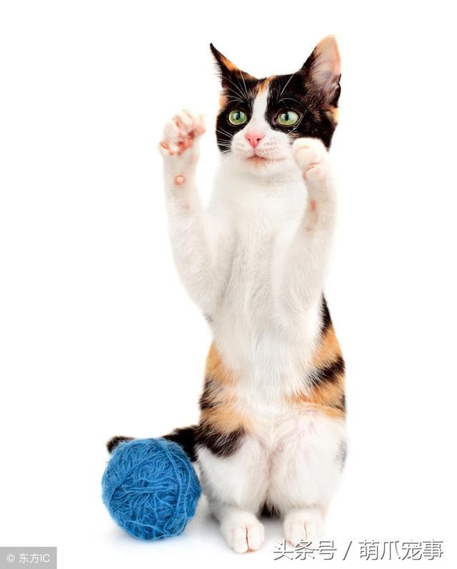 讓鏟屎官最頭疼的問題。貓咪愛咬人怎麼辦?記住做好這5點! - 每日頭條