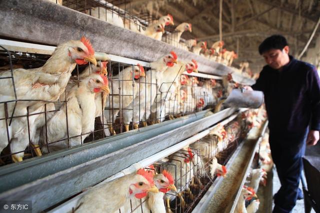 怎樣從雞群中精確挑選出不產蛋雞? - 每日頭條