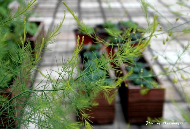 三十樓的挫折菜園:文竹?蓬萊松?蒔蘿?茴香?不,蘆筍! - 每日頭條