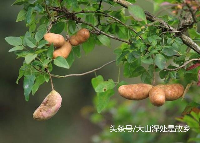 大山裡的野果子。吃過三種就算你厲害了! - 每日頭條