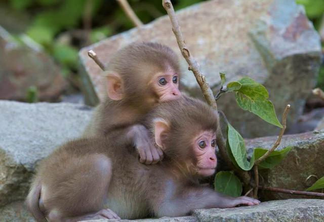 飼養正規的寵物猴子哪裏有賣可以買得到當寵物飼養的多少錢一隻 - 每日頭條