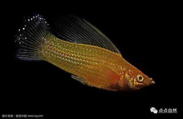 觀賞魚入門 鱂魚類 LIVEBEARER&KILLIFISH - 每日頭條