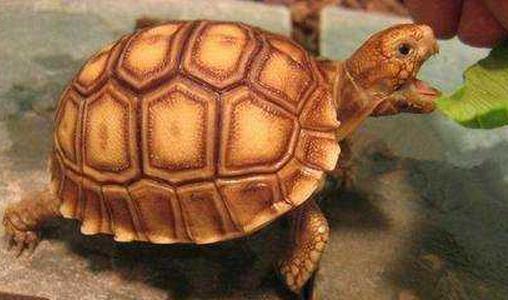 蘇卡達陸龜怎麼養 壽命大概多長時間 - 每日頭條
