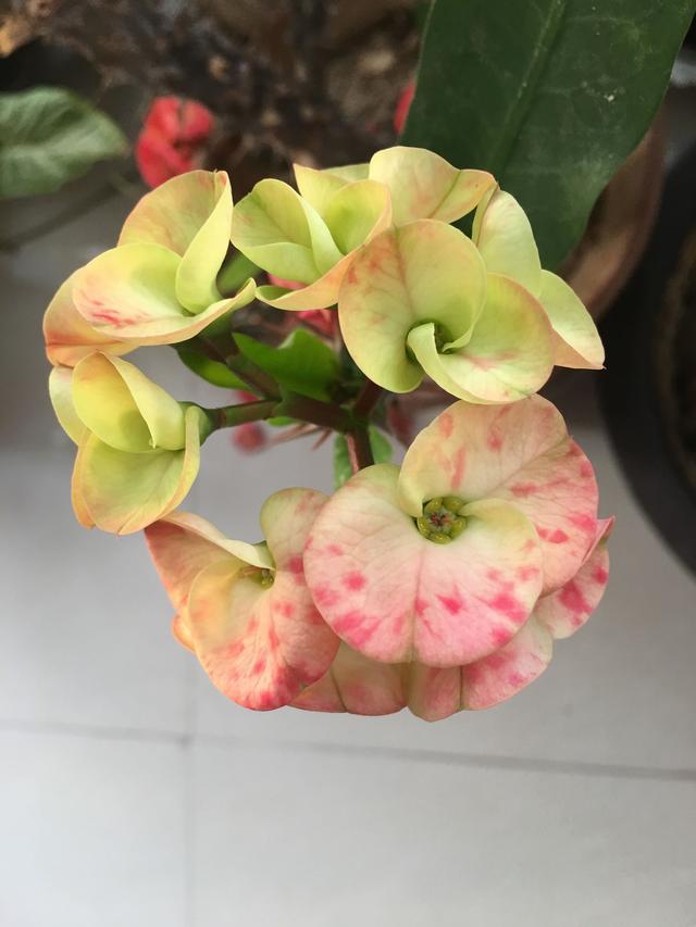 聽說這種花有促癌物質。但是很喜歡這花。它叫什麼花呢?能養嗎 - 每日頭條