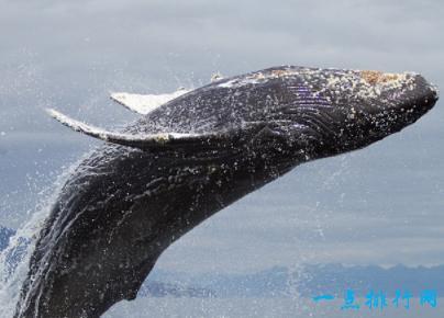 細數哪些體型最大的鯨魚 呼籲大家保護海洋環境 - 每日頭條