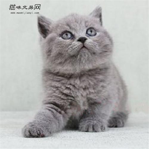 英短藍貓那麼可愛怎麼養 養英短藍貓注意事項有哪些 - 每日頭條