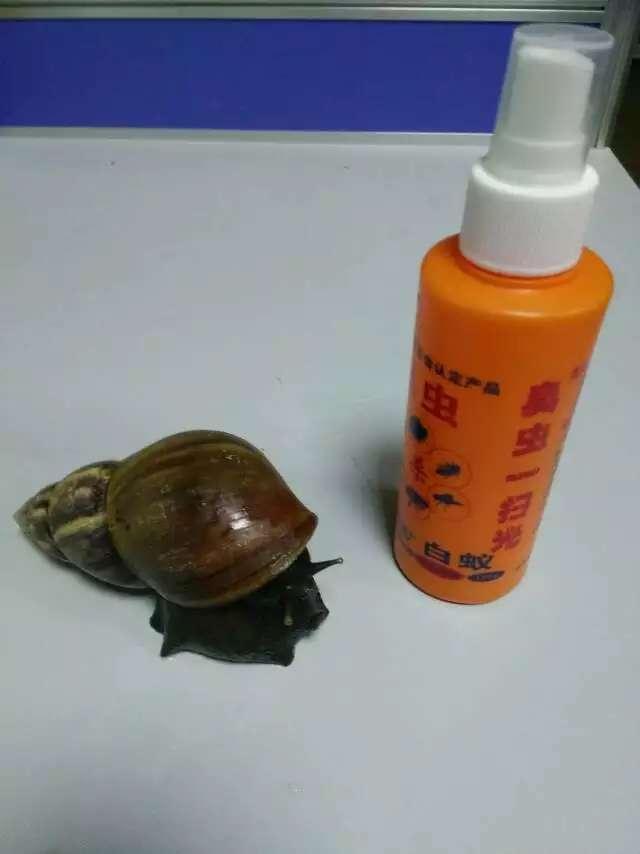 發現超級大蝸牛 有手掌那麼大 - 每日頭條