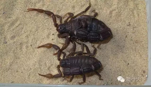 黑粗尾蠍的飼養要點 - 每日頭條
