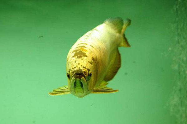 談談金頭金龍魚 - 每日頭條