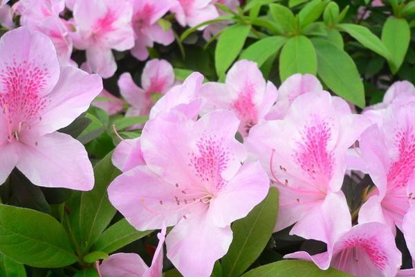 杜鵑花的養殖方法和注意事項 - 每日頭條