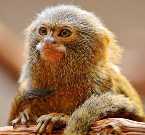 動物圖集:世界上最小的猴子,適用於猴子叫聲,中國金絲猴榜上有名 - 每日頭條