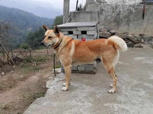 老人常說「好狗不死家中」這樣的中華田園犬要好好珍惜 - 每日頭條