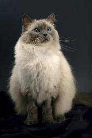 布偶貓價格到底是多少?新手家長如何挑選心愛的布偶貓? - 每日頭條