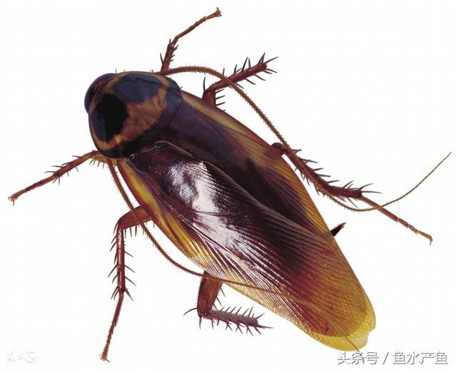 如何有效的消滅蟑螂。要知道平均一隻蟑螂半年後可繁衍數萬隻! - 每日頭條