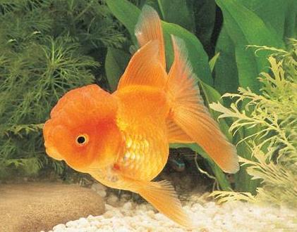 獅子頭金魚怎麼養 要經常換水 - 每日頭條