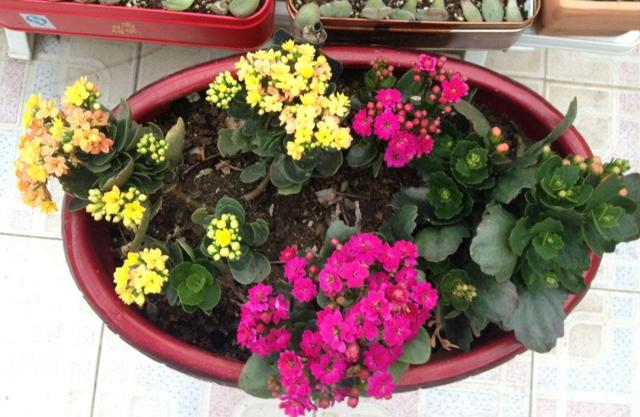想要長壽花提前開花,給它補上1種肥,花期可以趕在春節期間 - 每日頭條