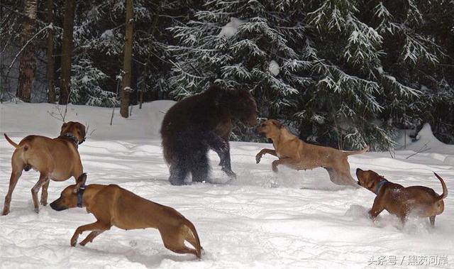 獵獅犬—羅得西亞背脊犬 - 每日頭條