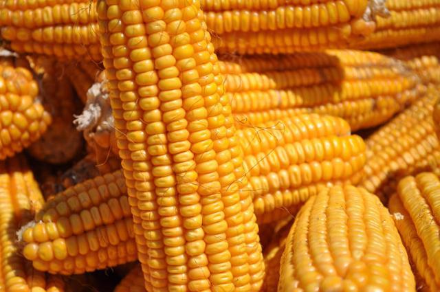 對於糖友來說,玉米到底可以不可以吃? - 每日頭條