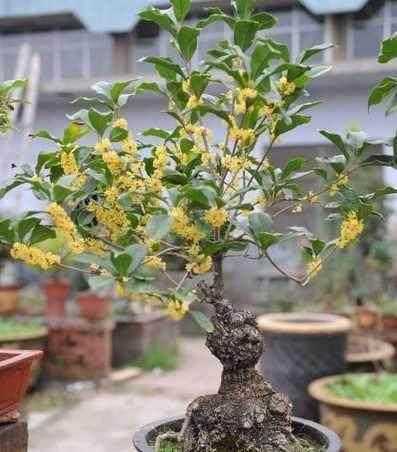桂花盆栽這樣養,一年四季都能花開不斷,絕對的花香滿屋! - 每日頭條