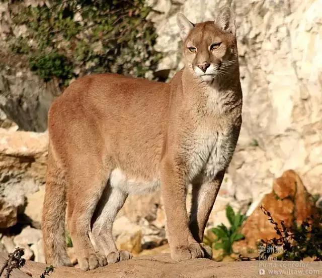 動物世界-美洲獅 Puma - 每日頭條