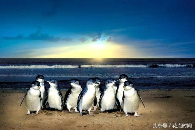 """澳洲神仙企鵝島看呆萌企鵝夜晚""""準時下班""""歸巢奇景 - 每日頭條"""