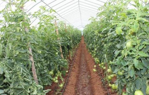 種植番茄怎麼施肥?西紅柿坐果後應怎樣施肥? - 每日頭條