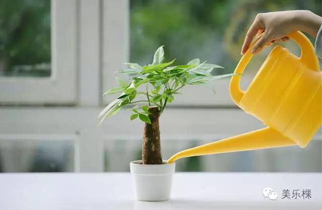 如何養好一棵發財樹 - 每日頭條