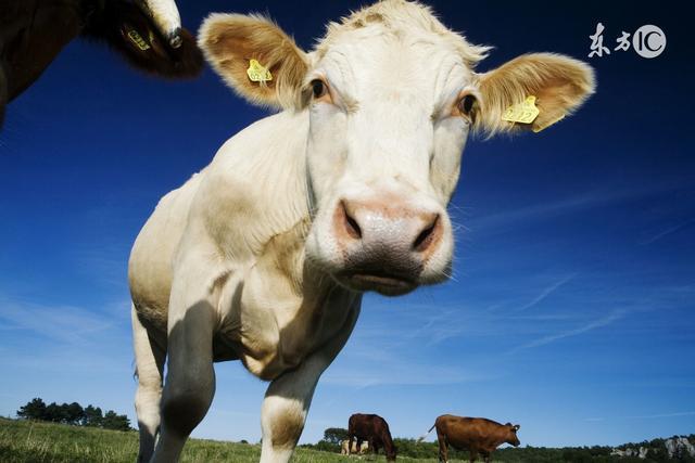 生肖配對:屬牛的和什麼屬相最相配 - 每日頭條