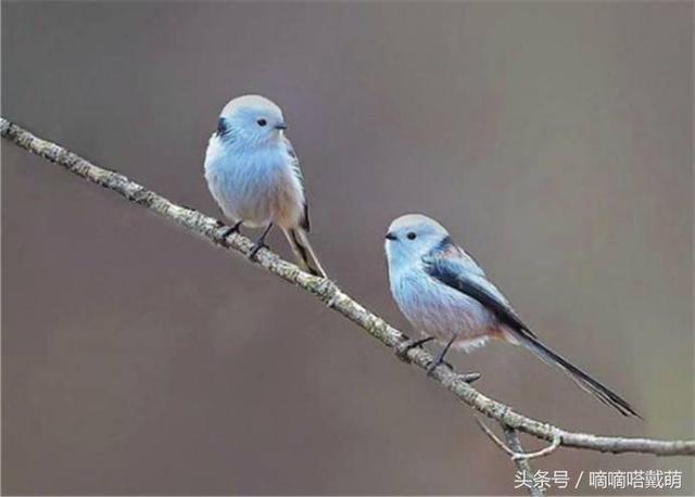 世界上最萌的鳥。全長10至13厘米。尾巴占了超過一半的長度 - 每日頭條