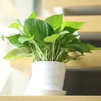 家裡的綠植別亂放,錯了位置會壞了風水破財運 - 每日頭條