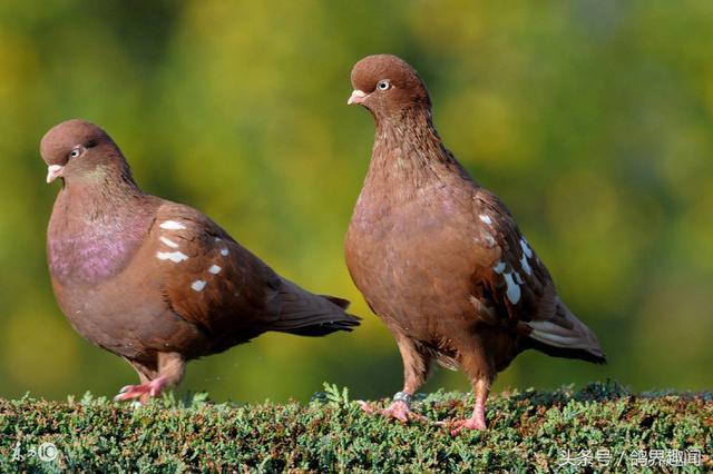 純色鴿子在信鴿育種中的作用 - 每日頭條