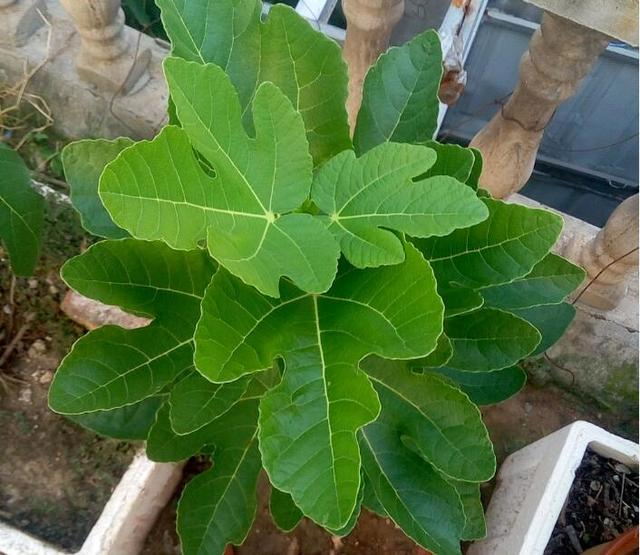 無花果種植非常簡單。一根枝條插在花盆中。當年就能結果 - 每日頭條
