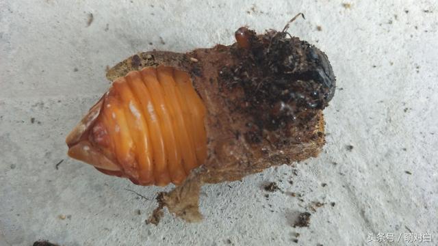 獨角仙幼蟲進化模式開啟,保證你沒見過 - 每日頭條