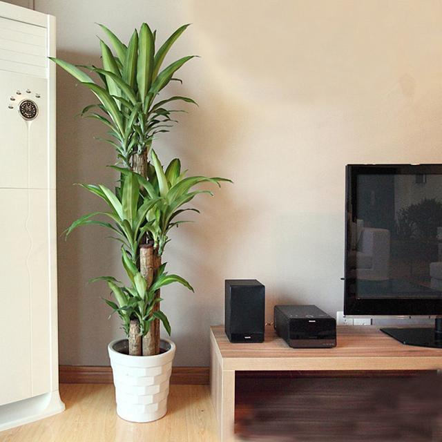 風水學家不會輕易告訴你的秘密:家裡的綠植盆栽這樣擺放才能旺財 - 每日頭條