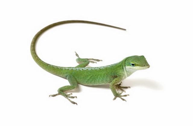 雄性蜥蜴擁有雙陰莖而且進化速度非常快 - 每日頭條
