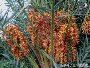 還記得20世紀60年代風靡中國的伊拉克蜜棗嗎? - 每日頭條