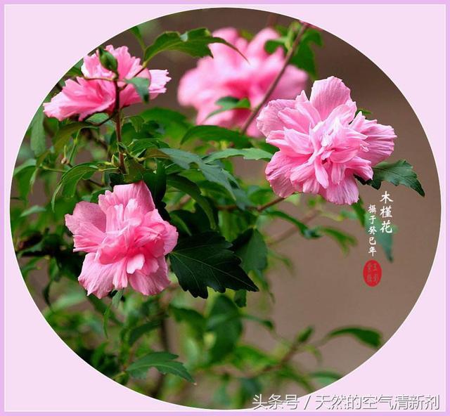 一種寓意步步高升的植物花卉,非常美麗,是一些國家的國花 - 每日頭條