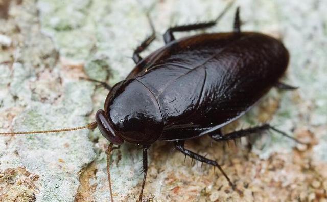蟑螂會飛嗎能飛多高 蟑螂一般吃什麼 - 每日頭條