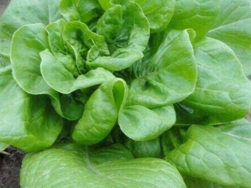 奶油生菜價格多少錢一斤?如何種植?怎麼做好吃?有哪些功效? - 每日頭條