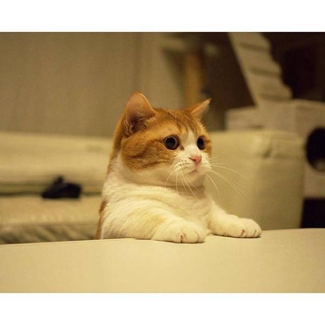 短腿貓就是曼赤肯貓,貓界小柯基,腿短但更靈活 - 每日頭條