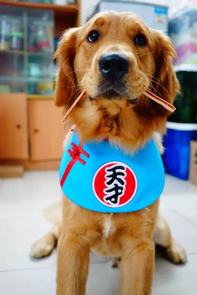 「金毛訓練日記」如何教育狗狗頭上「頂東西」? - 每日頭條