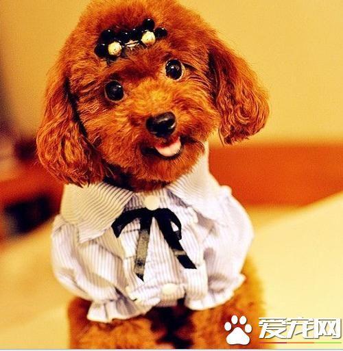 玩具貴賓犬習性 是一種敏感的聰明的狗 - 每日頭條