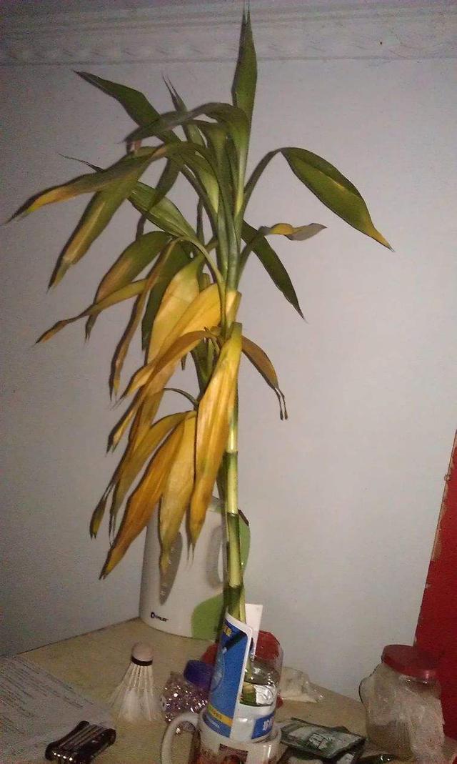 富貴竹。文竹。從來不黃葉。原來用了一個小方法 - 每日頭條