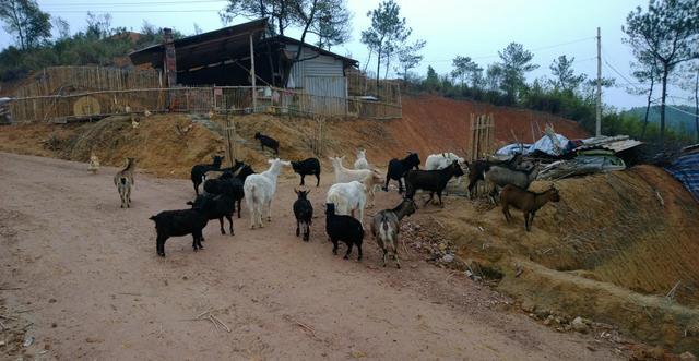 養殖黑山羊的羊圈要求有哪些?羊舍有哪些樣式? - 每日頭條