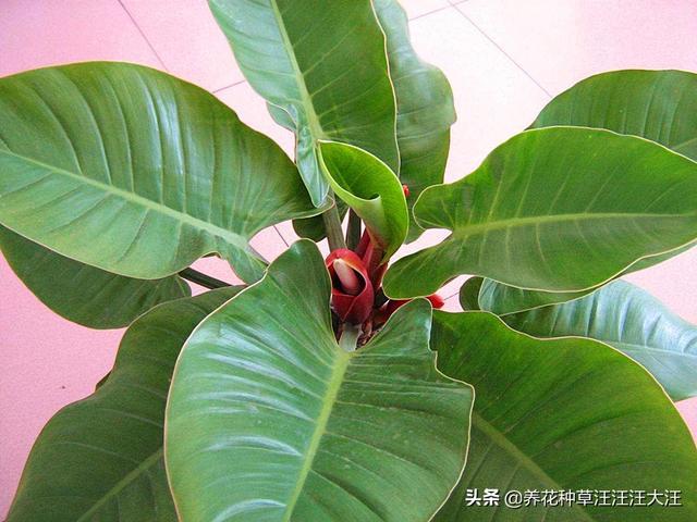 紅苞喜林芋養護。做對這七點。植株旺。葉子綠又亮 - 每日頭條
