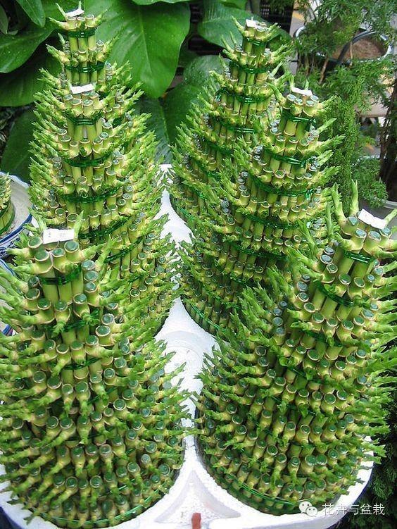 如何正確照顧富貴竹?土培、水培的各種問題解答 - 每日頭條