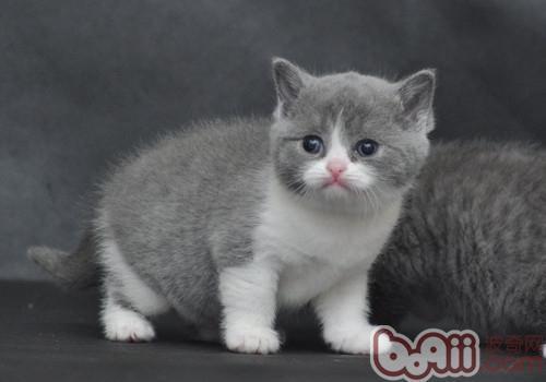 英國短毛貓,性格甜美可人,親近人類 - 每日頭條