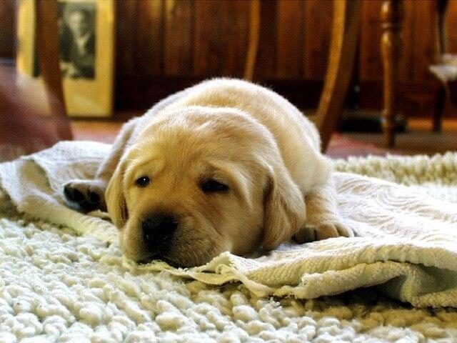 一摸狗的體溫比人高。狗狗是不是發燒了?了解狗發燒3大癥狀 - 每日頭條
