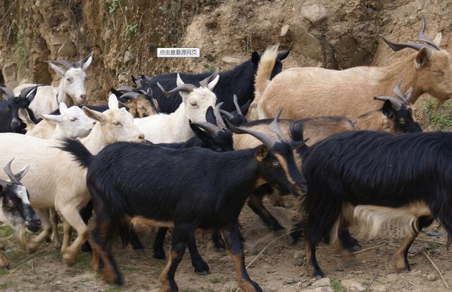 山羊or綿羊?哪種才是老饕的你的最愛 - 每日頭條